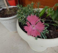 A Flower in a Pot