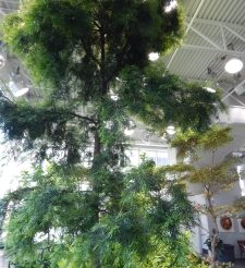 A Tall Tree in a Mall